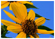daisies-in-the-sky11-thm.jpg