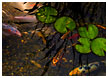 lillypads-and-koi002-thm.jpg
