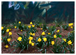 rainforest-daffodils001-thm.jpg