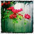 Pop of color on fence